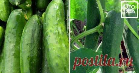 Las mejores clases de los pepinos para el terreno abierto   los Pepinos (Огород.ru)