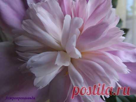 Пион для Скорпиона | Астропропаганда | Яндекс Дзен Автор статьи: астролог Нина Стрелкова. Яркий представитель Скорпиона – пион. В Китае пион – национальный цветок и входит в пятерку особых цветов фен-шуй, символизируя вместе с орхидеей, магнолией, хризантемой и лотосом счастье и успех. В Японии он тоже символ успеха, славы и богатства. Настоящие или нарисованные пионы китайцы любят преподносить молодоженам на свадьбу как пожелание счастья, друзьям и иным уважаемым персонам в знак почтения...
