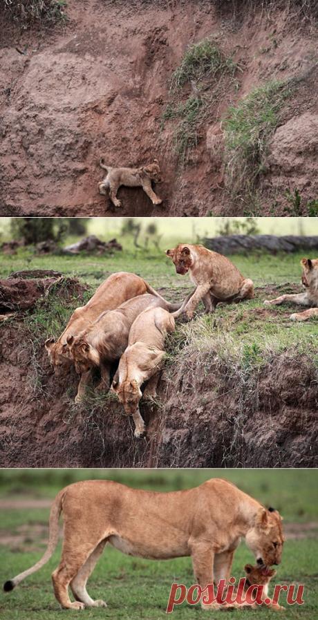 Львенок сорвался со скалы и звал на помощь свою маму… Мама, она везде мама!