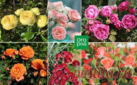 Розы флорибунда – 9 основных правил по выращиванию | Розы (Огород.ru)