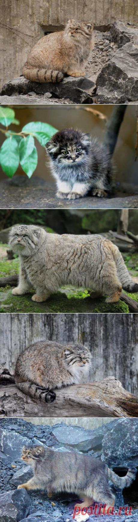 Смотреть изображения манулов | Зооляндия
