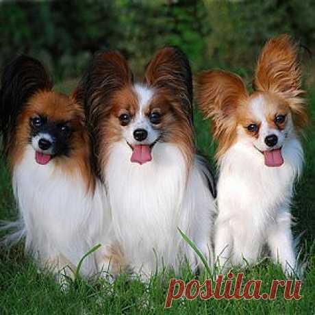 Фото собаки породы папильон.