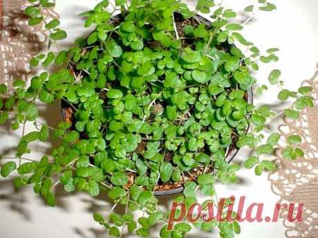 Мюленбекия - одно из самых привлекательных растений Мюленбекия (Muehlenbeckia) - одно из самых привлекательных растений. Свои первые корни она пустила в далеких теплых краях Новой Зеландии, Австралии и Южной Америки. Мюленбекия включает в себя свыше 20...