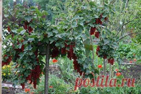 Как сформировать смородиновое дерево - Садоводка