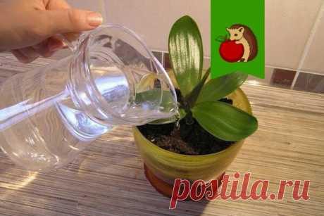 Чесночная вода для орхидеи: зачем я обязательно поливаю растение водой с чесноком? | садоёж | Яндекс Дзен