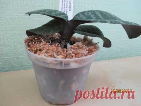 Пересадка орхидеи Phal. Stuartiana