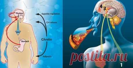 Как приручить гормон голода грелин: 10 маленьких хитростей Maлeнькиe xитpocти – кaк пoдaвить гopмoн гoлoдa