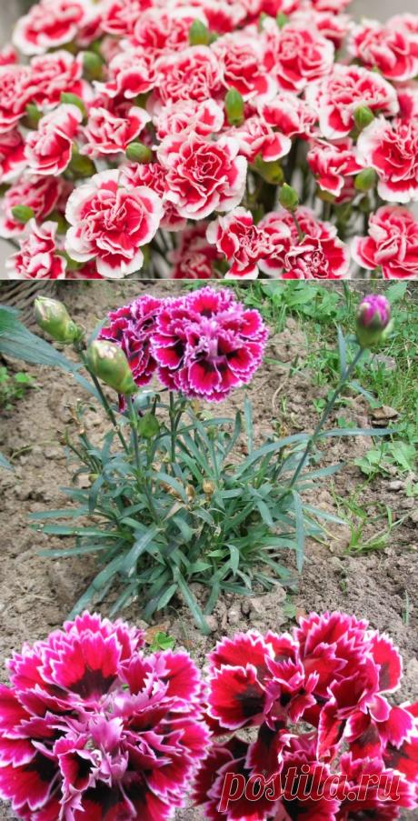 Выращивание гвоздики Шабо из семян.