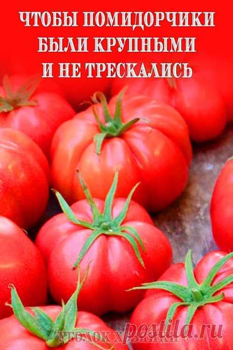 Чтобы любимые помидоры были крупными и созревали быстрее, приготовим для них полезные напитки