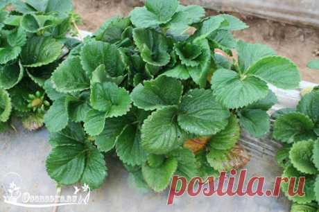 Отличный самодельный состав от болезней растений От ржавчины, пятнистости и…