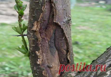 Две самые эффективные меры против растрескивания коры деревьев зимой   садоёж   Яндекс Дзен