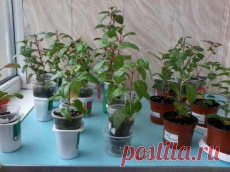 Как укоренить фуксию черенками: особенности, пошаговая инструкция, грунт и удобрения, подготовка рассады, формирование растения, последующий уход