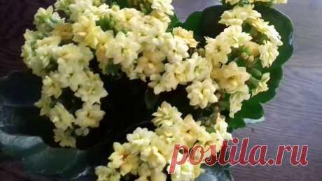 Каланхоэ. Уход, укоренение, размножение, обрезка, полив, цветение Выращивание каланхоэ в домашних условиях