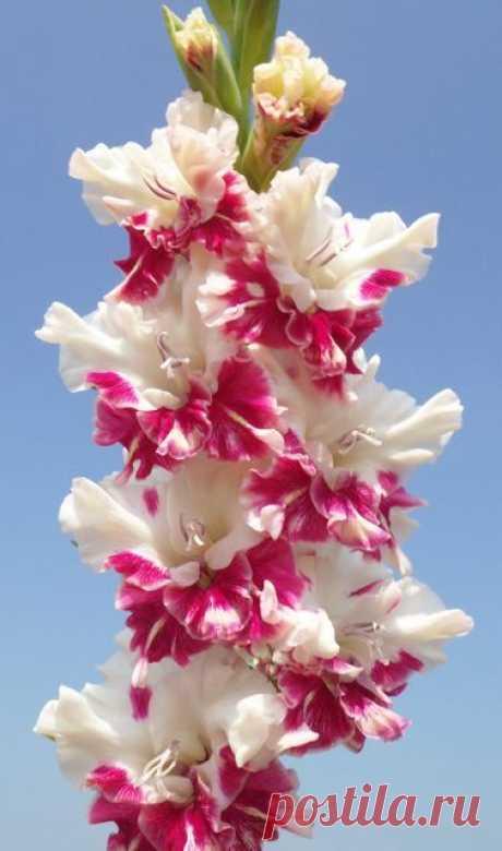 Gladiolus 'All is Rosy' (Gladiolus x hortulanus) | See more about gladioli.  |  Найдено на сайте miraclepooh.tumblr.com.