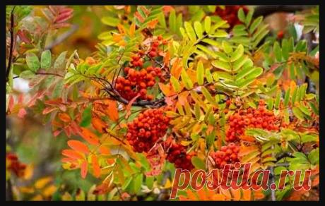 Исследования показали, что в плодах рябины содержится очень много полезных веществ, причем полезных не только птицам, но и людям.С незапамятных времен плоды рябины обыкновенной использовали в лечебных целях...