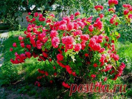 Выращиваем розы из осенних черенков на балконе