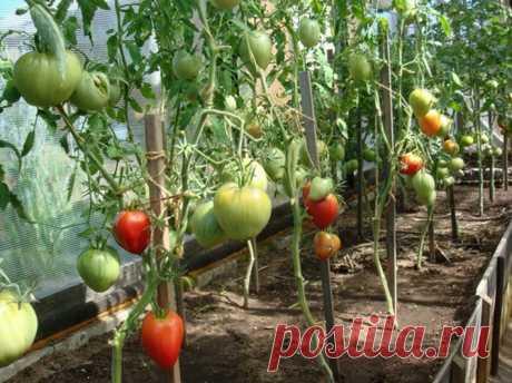 Чего не хватает Вашим помидорам: