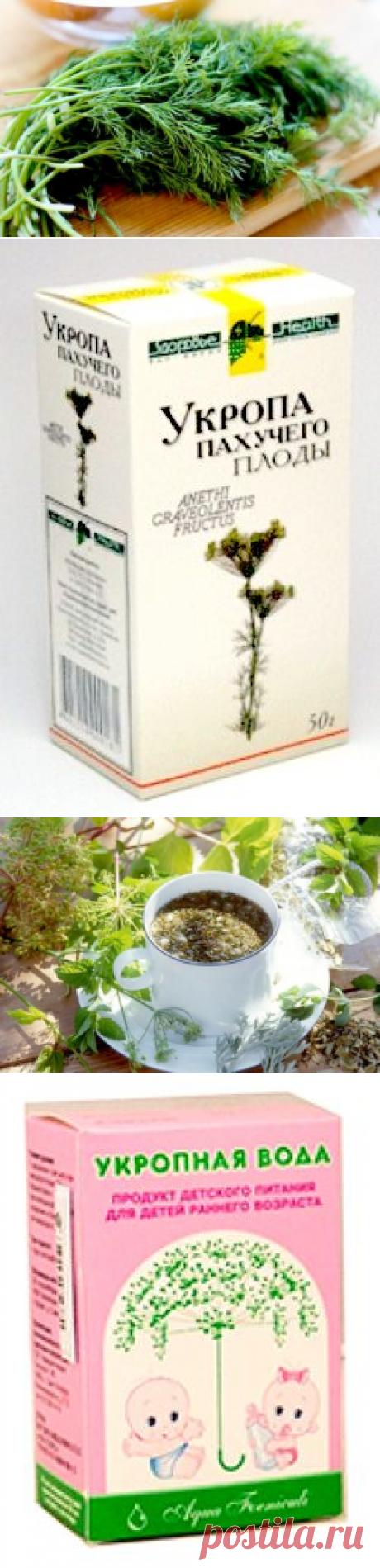 Укроп - лечебные свойства и противопоказания зелени