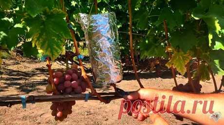 Укоренение винограда воздушным отводком. Советы опытного виноградаря | Виноград VM | Яндекс Дзен