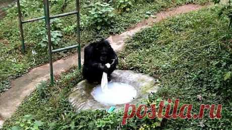 18-летний шимпанзе устроил стирку в своем вольере