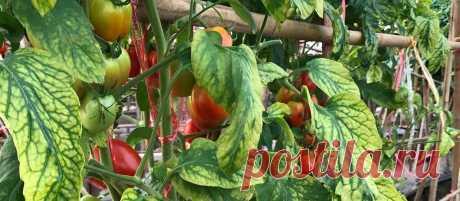 У моих томатов урожай больше и никогда нет хлороза. Рассказываю об эффективной магниевой подкормке   Садовый рай 🌱   Яндекс Дзен
