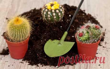 Новый колючий сосед или как посадить кактус