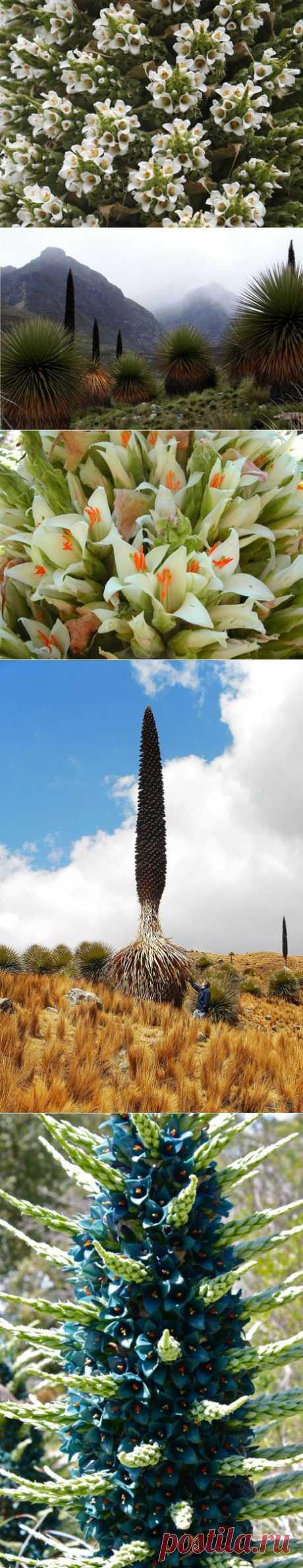 ПУЙЯ-редчайшее растение | Самоцветик