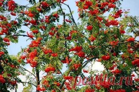 Плакучая рябина | Дачная жизнь - сад, огород, дача.  Как привить рябину...