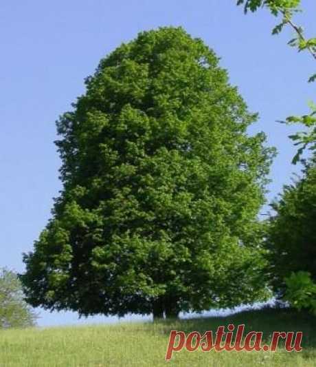 Липа сердцевидная (лат. Tilia cordata) | Рецепты народной медицины