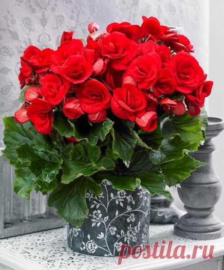 Чем комнатные растения обрабатывают перед продажей, что они так пышно цветут? Русские аналоги   Секреты Сада   Яндекс Дзен