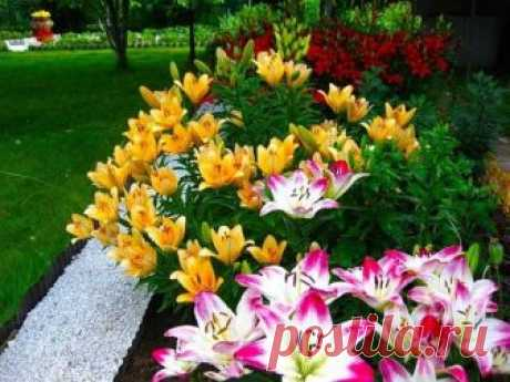Пришло время пересаживать лилии | ОГОРОДНИЦА ЮЛИАННА | Яндекс Дзен