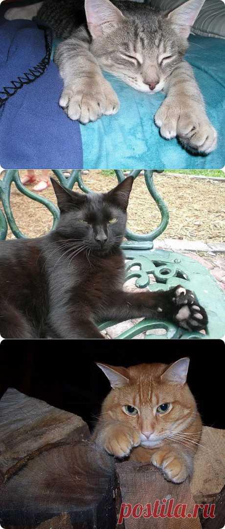 Полидактильные кошки: очарование больших лап | ПИТОМЦЫ