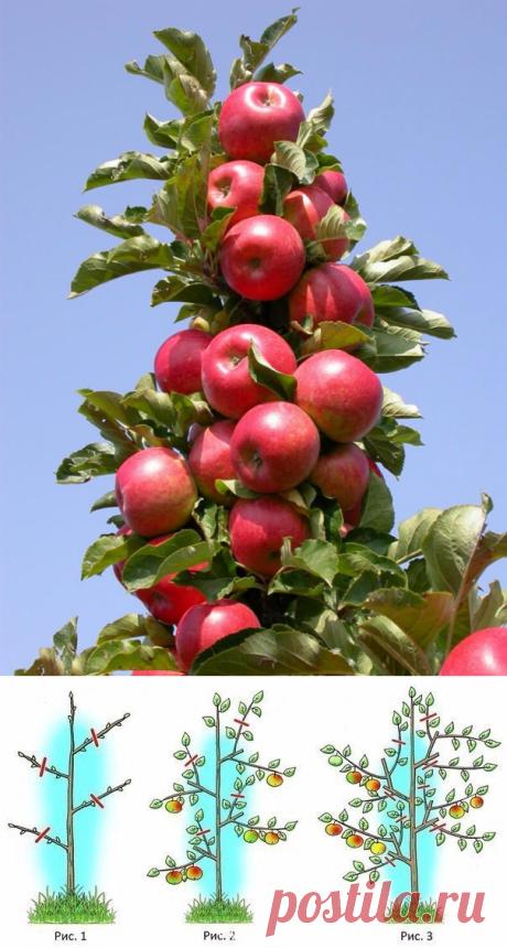Колоновидные яблони: обрезать или нет? | 6 соток