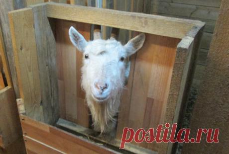 Особенности дойки коз. | Интересно о лошадях | Яндекс Дзен