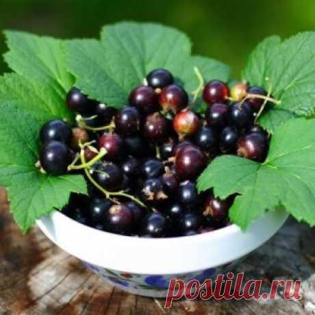 7 самых сладких сортов черной смородины