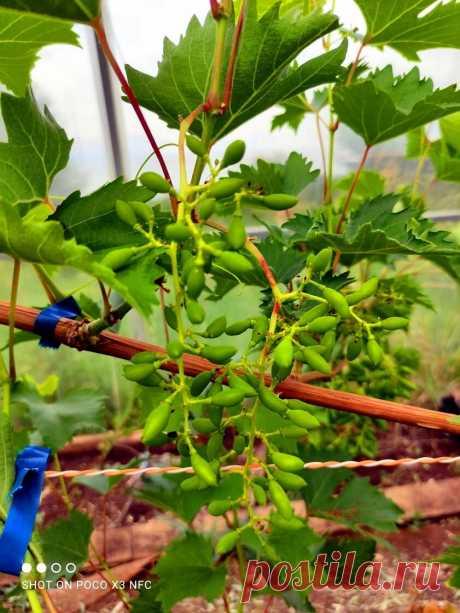 Виноградный куст – ожидая урожай, думайте о подготовке к зиме | Самарский виноград | Яндекс Дзен