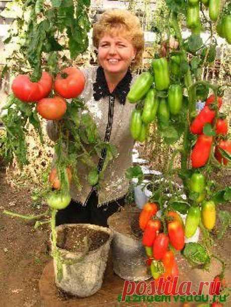 Растим помидоры в ведрах | Азбука садовода