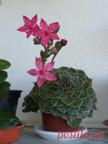 (19) цветы для друзей Граптопеталум прекрасный (лат. Graptopetalum bellum, syn. Tacitus bellus), он же Тацитус прекрасный или Мексиканская звезда