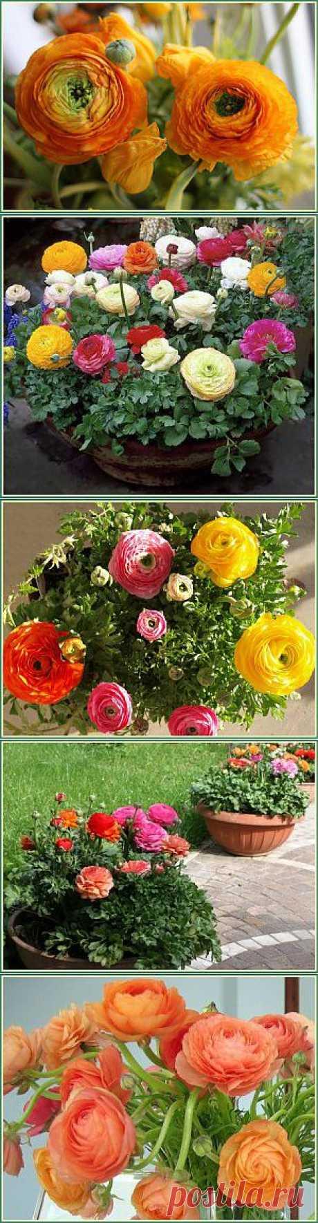 Ранункулюс  | Дачная жизнь - сад, огород, дача