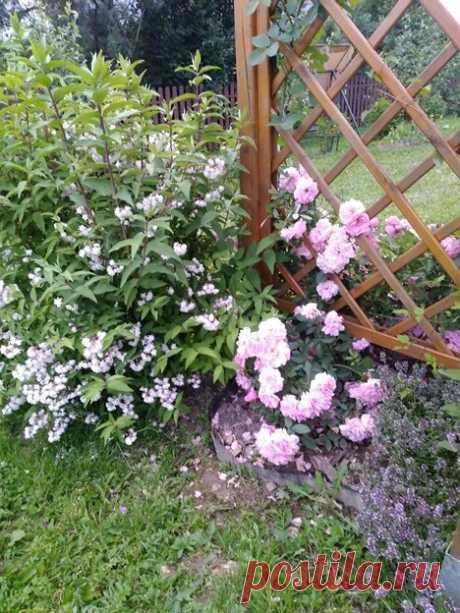 Посадила три неприхотливых кустарника на даче и буквально каждый дачник останавливается спрашивает название этой красоты   6 соток