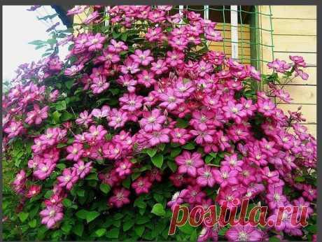 КАК ПОДОБРАТЬ «КЛЮЧИ» К КЛЕМАТИСУ   «Из цветов я выращиваю в своем саду только клематисы и розы», - говорит почвовед-эколог Павел ТРАННУА, который любит эти цветы за мощь и силу, а главное за то, что цветут с июня по сентябрь: всё лето участок в ярких цветах. Показать полностью…