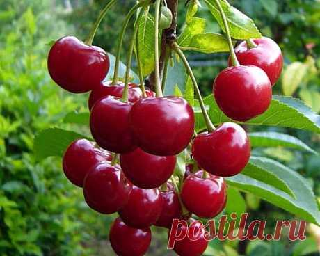 Как добиться высокой урожайности вишни  Качество вкусного урожая напрямую зависит от многих факторов, однако, как ухаживать за вишней, добиться хорошего плодоношения знают не многие. Деревья могут расти и самостоятельно, без лишнего вниман…