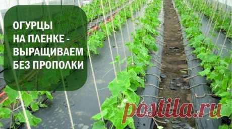 Огурцы на пленке,выращиваем без прополки.