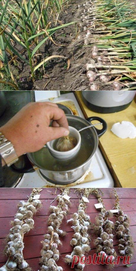 Когда убирать чеснок с грядки и как правильно хранить его зимой — Бабушкины секреты
