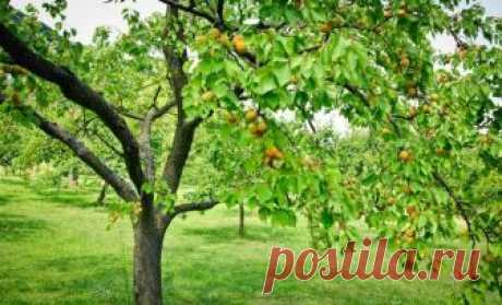 Абрикос не плодоносит – почему так происходит и что делать            Молодой и здоровый абрикос в вашем саду порадовал цветами, но не дал плодов? Или взрослый абрикос не цветет и не плодоносит уже несколько лет? Давайте вместе разберемся в возможных причинах…
