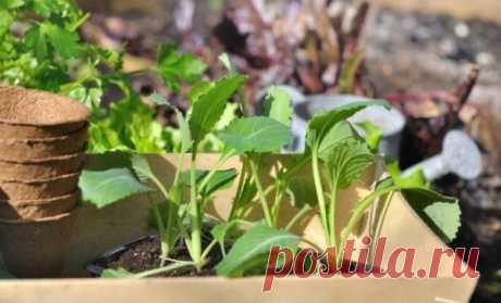 Когда сажать капусту на рассаду в 2020 году по лунному календарю с учетом особенностей сорта, региона выращивания и способы посадки