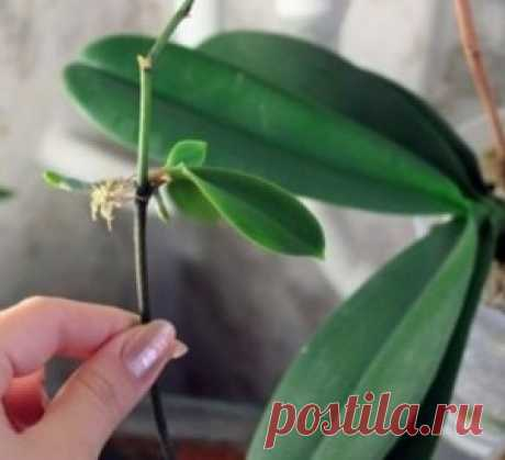 Мои орхидеи — моя гордость! Размножаю их одним секретным способом… - МирТесен