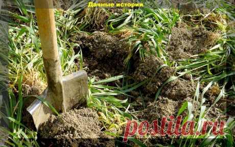 Забытый огородниками метод двойной сидерации почвы. Огромная польза и замена навоза | Дачные истории | Яндекс Дзен