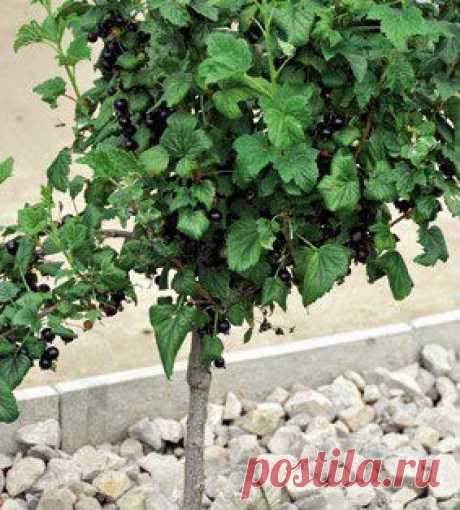 Выращивание смородины в виде деревца   Хозяин и Хозяюшка