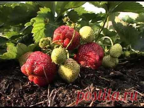 ▶ Секреты эффективного выращивания клубники - YouTube